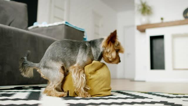 vídeos y material grabado en eventos de stock de divertido perrito juega con una almohada - almohada