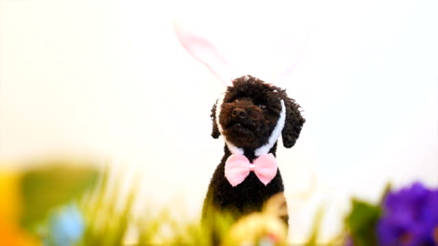 Funny little dog wearing Easter bunny ears video