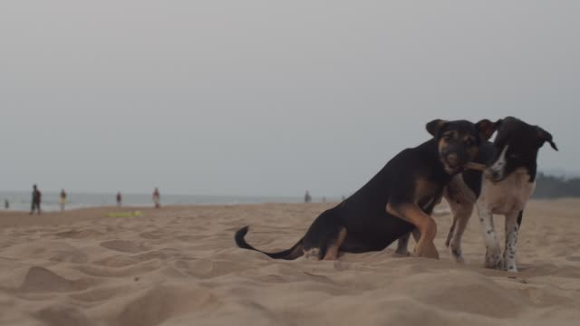 Funny little dogs playing on sandy beach by ocean slow motion copy text space. Black and white puppies gnaw stick having fun on seaside on cloudy day. Holidays summer vacation. Animal protection Black and white puppies gnaw stick having fun on seaside on cloudy day. Holidays summer vacation. Animal protection homeless shelter stock videos & royalty-free footage