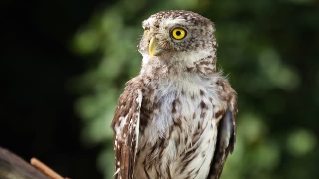 Funny little owl  in natural forest habitat Funny little owl sitting on a branch in the forest on a sunny summer day bird of prey stock videos & royalty-free footage