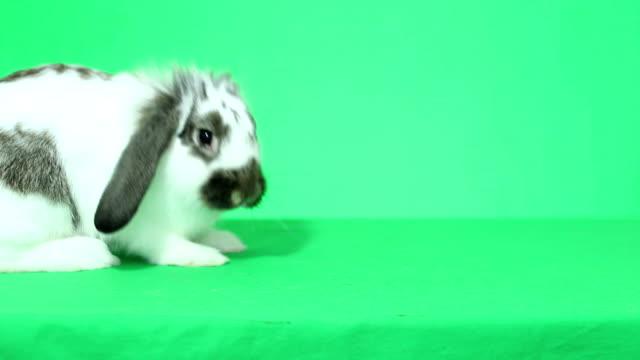 komik lop-eared tavşan atlama - tavşan hayvan stok videoları ve detay görüntü çekimi
