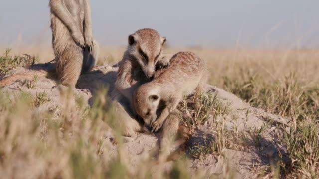 funny meerkat investigating another meerkats genitals and embracing - zachowanie zwierzęcia filmów i materiałów b-roll