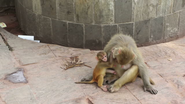 rolig apa familj - djurfamilj bildbanksvideor och videomaterial från bakom kulisserna