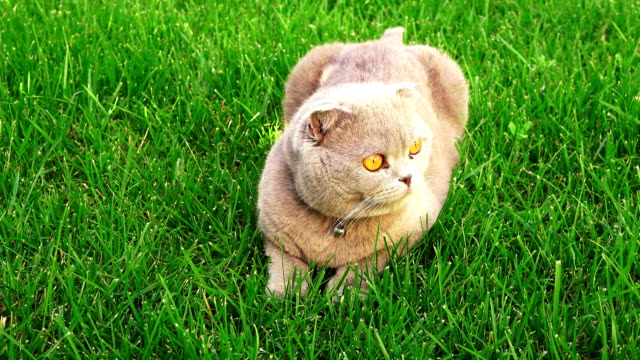Funny persian gray cat with orange eyes - video