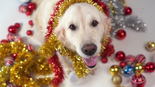 funny pets - big friendly dog posing in studio with christmas decorations on a white background