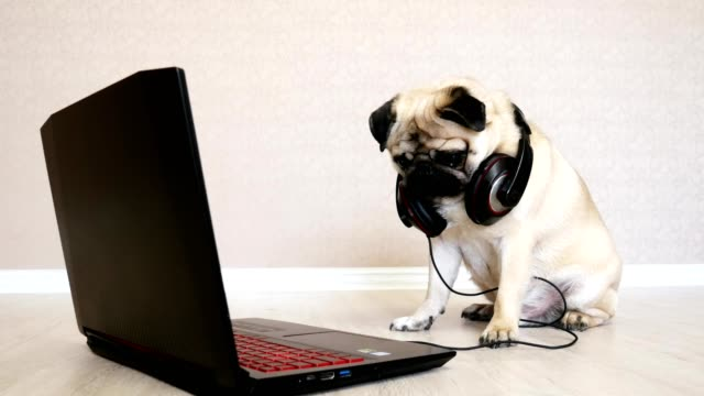 büyük kulaklıklar ile komik pug köpek bir dizüstü bilgisayar ekranında bakıyor - kulaklık seti ses ekipmanı stok videoları ve detay görüntü çekimi