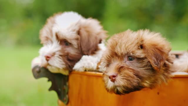 vídeos de stock, filmes e b-roll de filhotes de cachorro engraçados olhem fora da cesta. animais de estimação encantadores - punhado