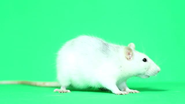 komik sıçan yıkıyor - kemirgen stok videoları ve detay görüntü çekimi