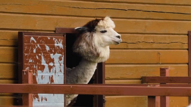 Funny sheared alpaca sticking its head out of the barn and chewing.