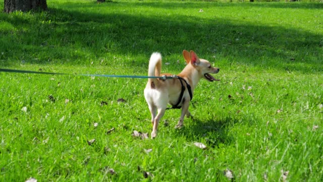 Funny Small Dog On Leash At Green Lawn In Sunny Day In Park Camera in motion funny and joyful little dog on a leash on a green grass lawn in the park, shining bright summer sun, slow motion leash stock videos & royalty-free footage