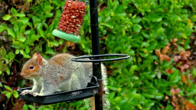 Funny Squirrel Falls On Bird Feeder (4 of 4) video