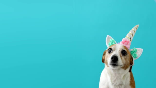 Funny unicorn little white dog on blue background Funny unicorn little white dog on blue background with copy space purebred dog stock videos & royalty-free footage
