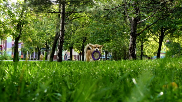funny welsh corgi fluffy dog walking outdoors funny welsh corgi fluffy dog walking outdoors purebred dog stock videos & royalty-free footage