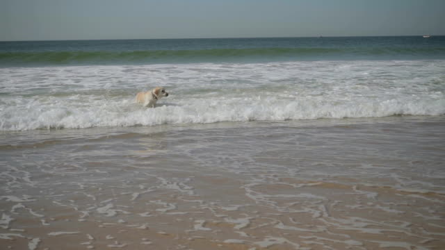 Funny wet labrador playing with stick in sea.