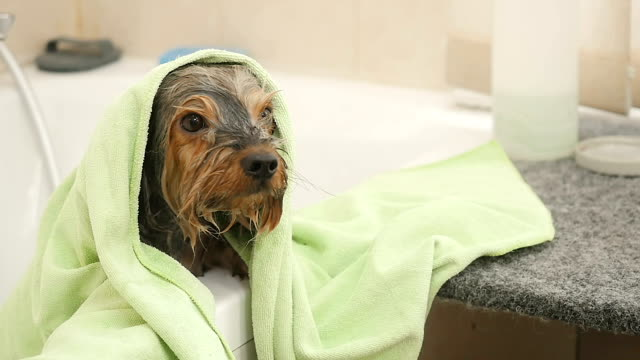 Funny wet puppy under the towel video