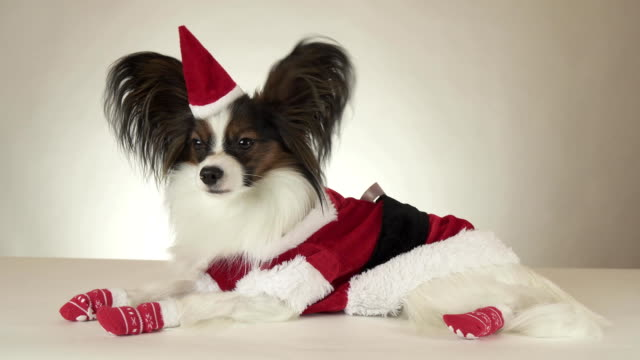 Funny young male dog Continental Toy Spaniel Papillon in Santa Claus costume looks around on white background stock footage video video