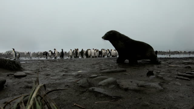 fur seal at whaler's bay in antarctica - antarctica travel stock videos & royalty-free footage