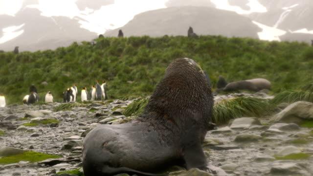 Fur Seal at Whaler's Bay in Antarctica