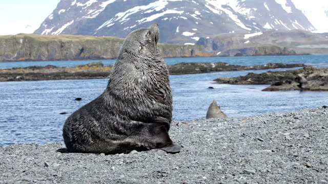Fur Seal on South Georgia Isaland Fur Seal taking a nap while guarding his territory. Shot on South Georgia Island south georgia and the south sandwich islands stock videos & royalty-free footage