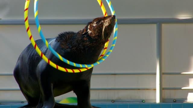 hd fur seal playing with hoops on the stage, closeup - morrhår bildbanksvideor och videomaterial från bakom kulisserna