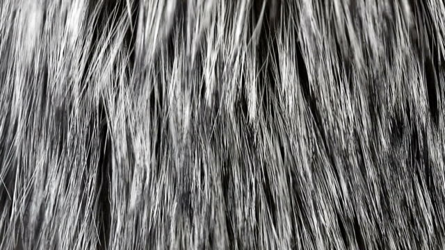 fur Natural fur from a black fox. Fur in the wind close up, abstract background of a luxurious fox fur. fur stock videos & royalty-free footage
