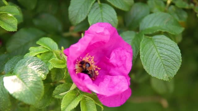 eine pelzige hummel in eine rosa blume sammelt pollen nahaufnahme - endemisch stock-videos und b-roll-filmmaterial