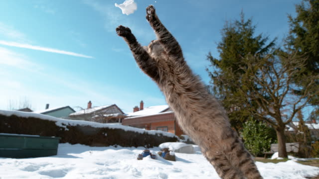 CLOSE UP, DOF: Furry cat jumps and catches a snowball with its front paws.