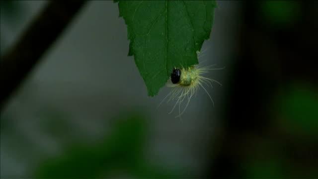 furry caterpillar feste in una deliziosa shady foglia di albero - parte della pianta video stock e b–roll