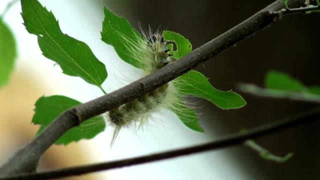 furry caterpillar steht, überblickt die situation und routen - pflanzenbestandteile stock-videos und b-roll-filmmaterial