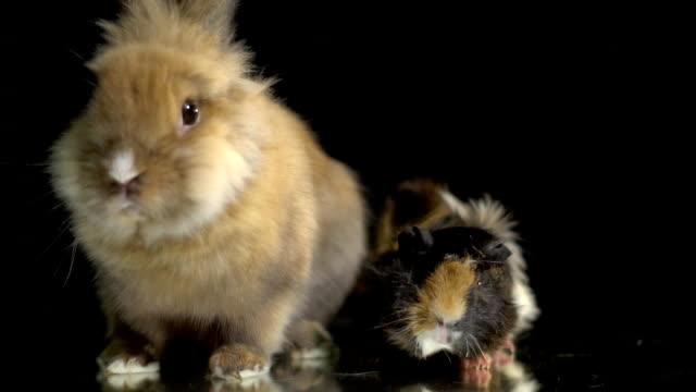Pelzigen Kaninchen und Meerschweinchen sitzen auf einem Spiegel Präsentationstisch – Video