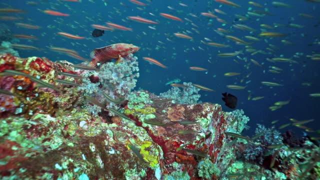 Fusiliere Fische auf lebendigem Korallenriff – Video