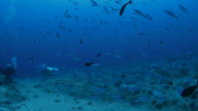 vídeos y material grabado en eventos de stock de peces fusilero escolaridad submarinos - zona pelágica