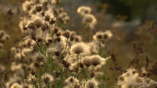 Fuzz of overripe thistle. Overripe fuzzy weed buds in light of setting sun Fuzz of overripe thistle. Overripe fuzzy weed buds in light of setting sun. HD footage slowmotion video sepia toned stock videos & royalty-free footage