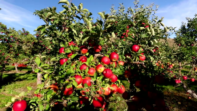 vídeos de stock, filmes e b-roll de pomar de maçãs gala - região thompson okanagan colúmbia britânica