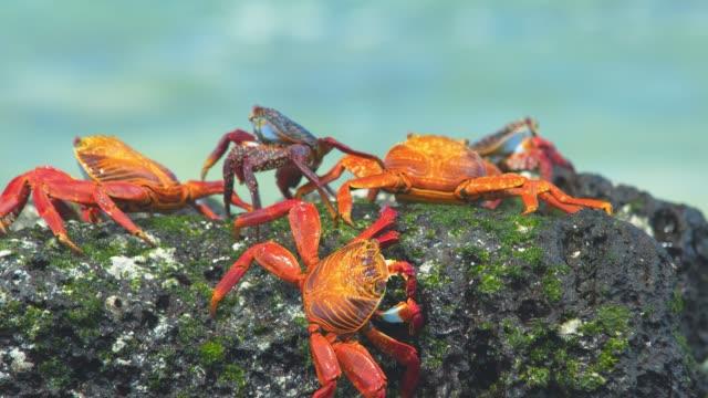 galapagos crabs - granchio video stock e b–roll