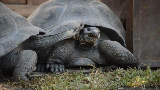 Galapagos giant tortoise or Galapagos tortoise attacking - Chelonoidis nigra Galapagos giant tortoise or Galapagos tortoise attacking - Chelonoidis nigra giant tortoise stock videos & royalty-free footage