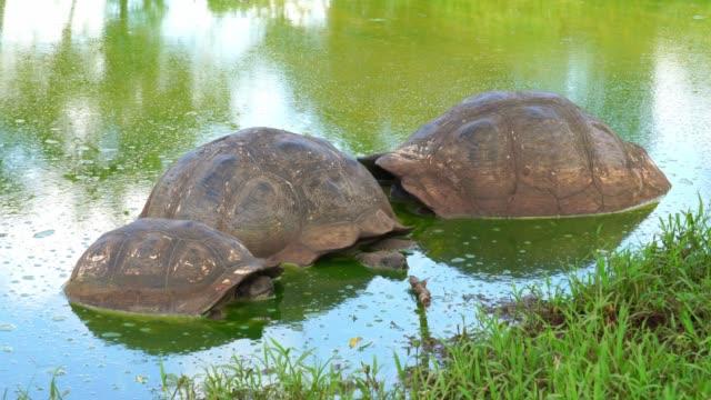 Galapagos Giant tortoise Turtle Galapagos Giant tortoise Turtle giant tortoise stock videos & royalty-free footage