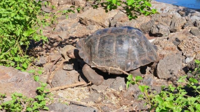 Galapagos Giant tortoise Turtle One Galapagos Giant tortoise Turtle crawling slowly over stones giant tortoise stock videos & royalty-free footage