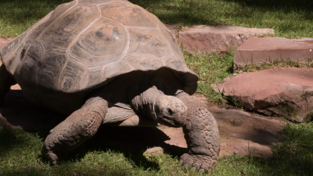Galapagos giant tortoise turtle walking - Chelonoidis nigra Galapagos giant tortoise turtle walking - Chelonoidis nigra turtle stock videos & royalty-free footage