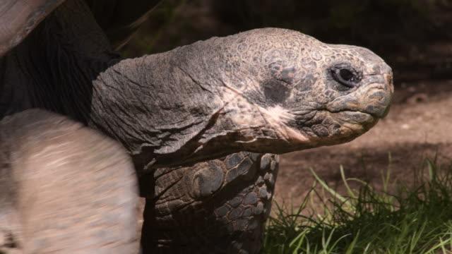 Galapagos giant tortoise turtle walking slowly - Chelonoidis nigra Galapagos giant tortoise turtle walking slowly - Chelonoidis nigra giant tortoise stock videos & royalty-free footage