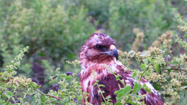 Galapagos Hawk Film at Galapagos island, the hawk isn't easy to see, especially when you get so close to them. hawk bird stock videos & royalty-free footage