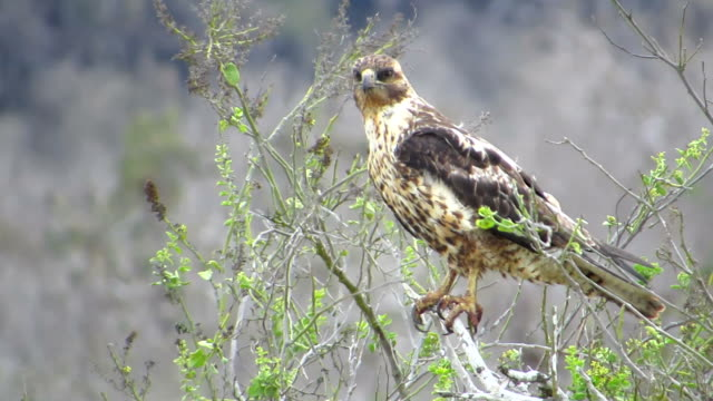 Galapagos hawk A hawk stand on a branch with strong wind, just wait a good time for hunter something for food. falcon bird stock videos & royalty-free footage