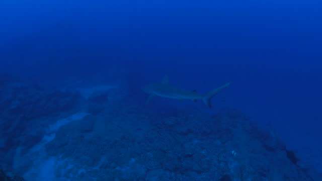 Galapagos shark video