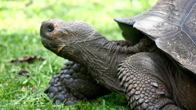 żółw galapagos, geochelone nigra, widok z boku - żółw lądowy filmów i materiałów b-roll