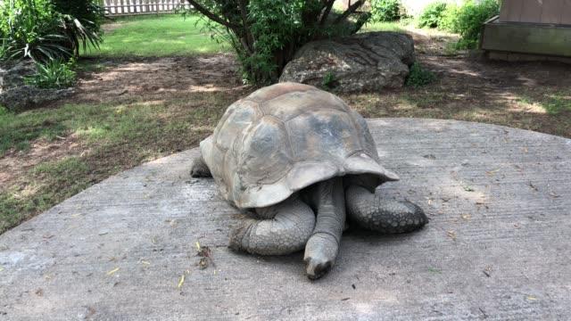 A Galapagos tortoise lies still on a concrete ground A Galapagos tortoise lies still on a concrete ground giant tortoise stock videos & royalty-free footage