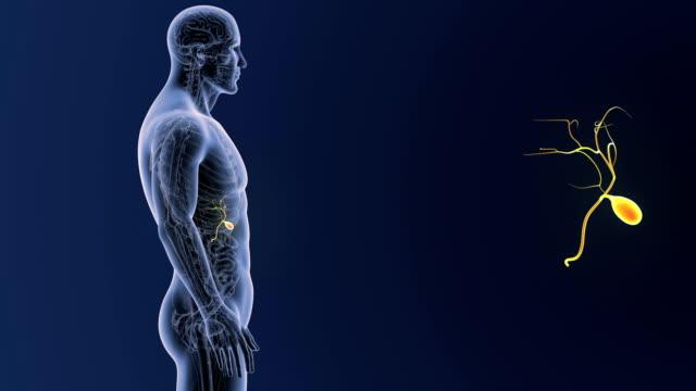 gallenblase zoom mit anatomie - menschlicher verdauungstrakt stock-videos und b-roll-filmmaterial