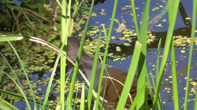 Gallinula chloropus on the Lower pond in Kaliningrad Moorhen (Gallinula chloropus) on the Lower pond in Kaliningrad duckweed stock videos & royalty-free footage