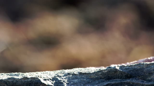 gallotia stehlini - gran canaria insel endemische eidechse - endemisch stock-videos und b-roll-filmmaterial