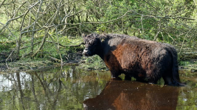 Galloway standing in water Galloway cow or Bos taurus, stands in shallow water to cool down dumfries and galloway stock videos & royalty-free footage