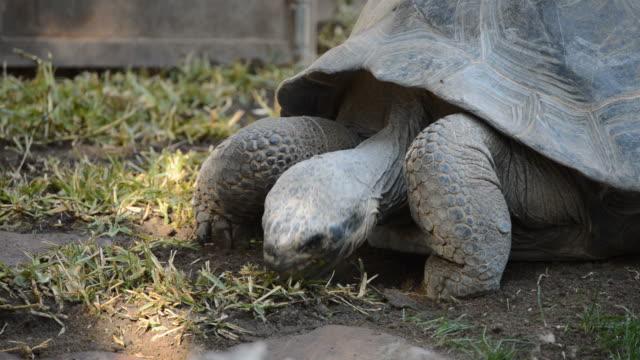 Galápagos giant tortoise eating grass - Chelonoidis nigra Galápagos giant tortoise eating grass - Chelonoidis nigra giant tortoise stock videos & royalty-free footage